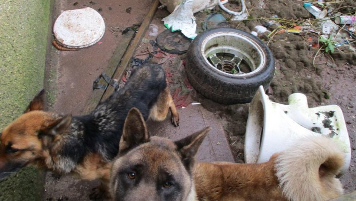 Neglected dogs saved from almost certain death by ISPCA