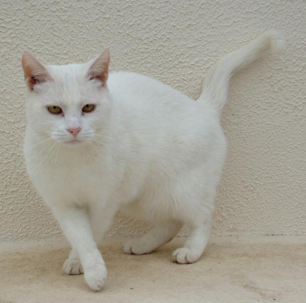 White cats often need sun block on their ears and tip of nose