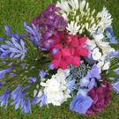 Hydrangeas and Agapanthus