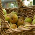 Very few modern apple and pear varieties store well in a domestic setting