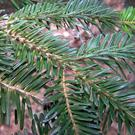 The Nordmann Fir has very glossy, waxy, mid-green leaves with a fruity aroma