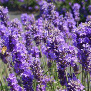 Lavender is somewhat adaptable and will tolerate the wet, fertile soils and cool temperatures we can offer