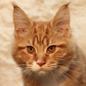 Aslan has the distinctive looks of a pedigree Maine Coon kitten