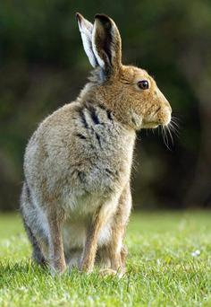The hare will, after his weeks of captivity compliments of the nearest coursing club, have to run from a pair of salivating greyhounds across a frosty, rain-swept field