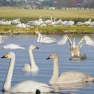 Whooper Swans arrive each year to spend the winter in Ireland
