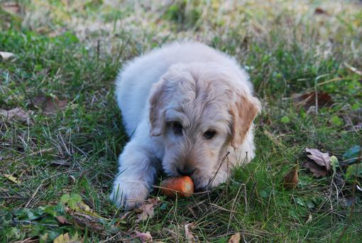 Raw carrots could be part of a food trial for dogs