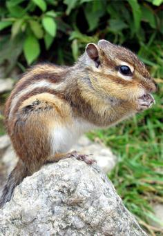 The Siberian Chipmunk has been recorded living in the wild in Ireland.