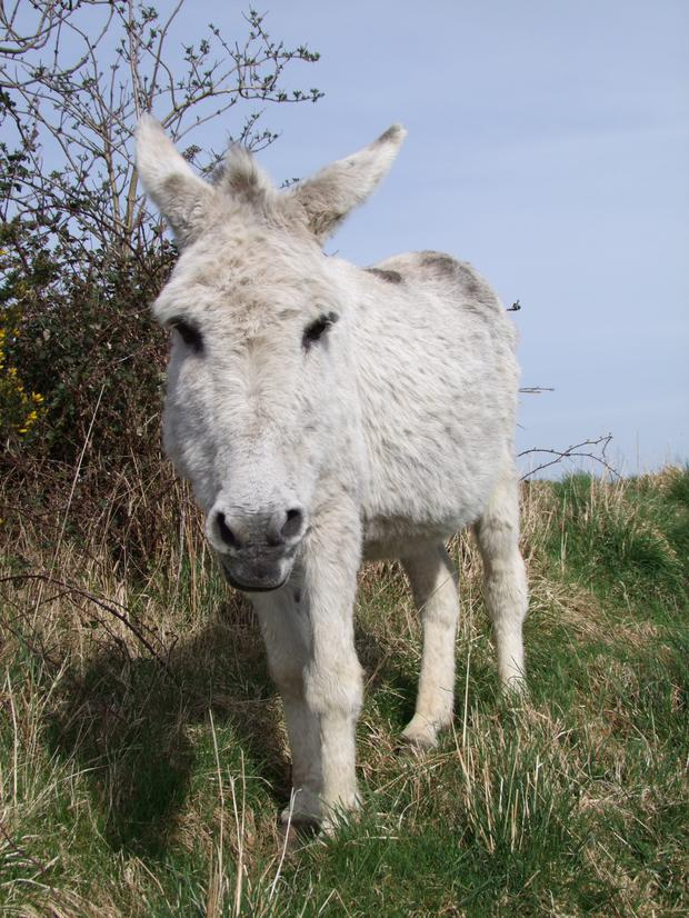 Donkeys Are A Traditional Part Of Irish Rural Life Independent