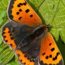 The Small Copper has lovely autumn colours on display in early summer.