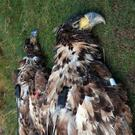 Two White-tailed Sea Eagles illegally poisoned in Ireland
