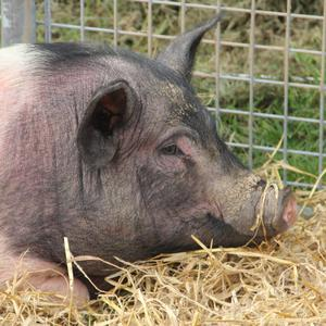 Less than 1% of Irish pigs live free-ranging lives