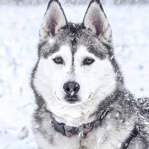 Some breeds of dog are better suited to cold weather.