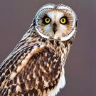 The Short-eared Owl has large, piercing, yellow eyes.