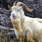 Mature male goats can have impressive horns and beards.