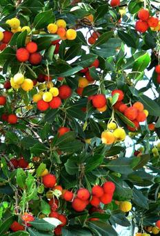 The Arbutus tree has strawberry-red, insipid-tasting fruits