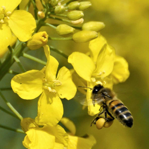 A Honeybee collecting pollen for making honey from the bright yellow flowers of Oilseed Rape