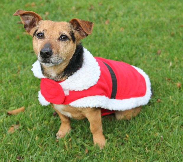 People are still tempted to give a dog as a Christmas present