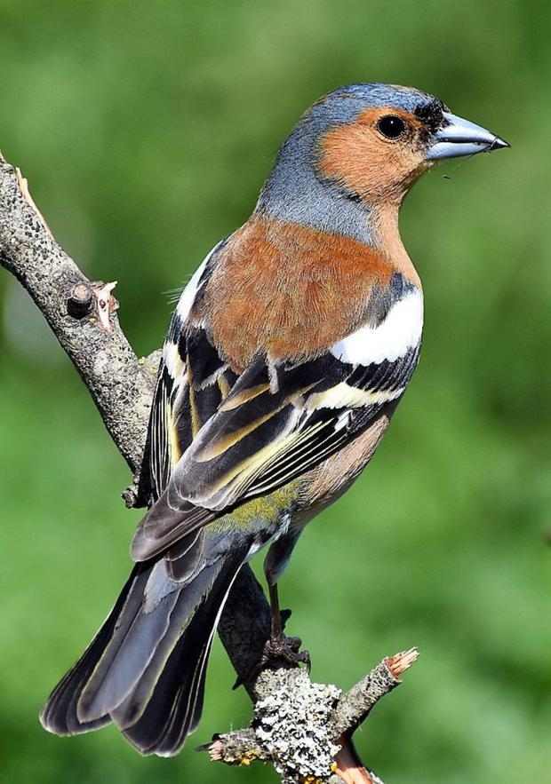 A male Chaffinch in his fresh breeding plumage at this time of year is a handsome bird