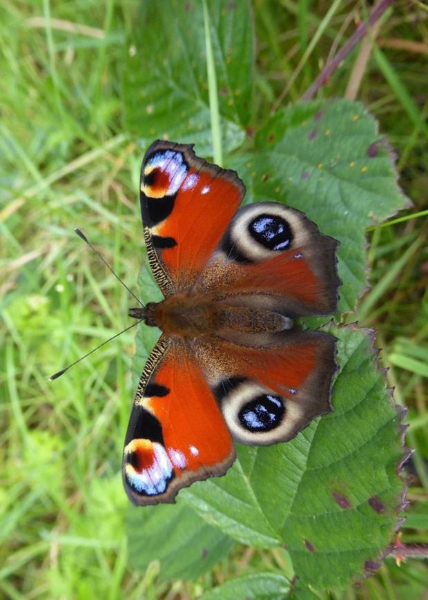 The Peacock is arguably the most spectacular and colourful butterfly found in Ireland