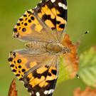 The Painted Lady is one of our largest and most beautiful butterflies