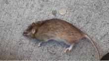 Some estates have seen an increased rat problem