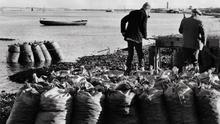 Bags of mussels from the Boyne. Pic Des Clinton