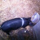 A happy ending for this little pig