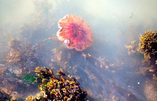 Fingal County Council has warned beachgoers and sea swimmers after a number of Lion's Mane jellyfish were spotted on Donabate beach
