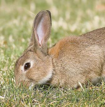 The peak breeding time among rabbits in Ireland is from April to June.