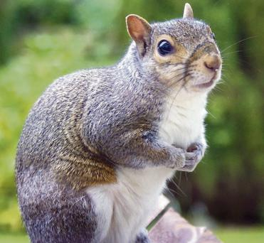 Grey Squirrels are able to exploit several different food sources.