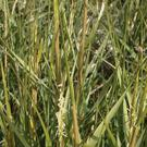 Common Cord-grass features on both the 'Most Unwanted' list of invasive aliens and on the list of protected habitat types.