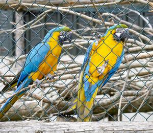 Bonny and Clyde, blue and yellow macaws.