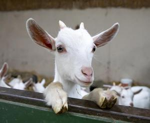 A three-and-a-half month old kid goat