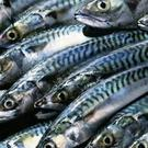 Mackerel are abundant at present