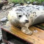 Seals can die as a result of ingesting plastic waste