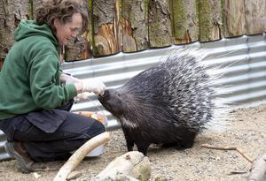Three-year-old Ajo, a crested porcupine, getting fed by owner Ann O'Connor