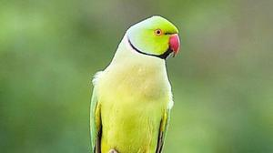 The Rose-ringed Parakeet is a green, tropical parrot that has spread widely from its home range due to escapes of pet birds