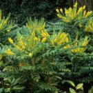 Plant of the week: Mahonia japonica