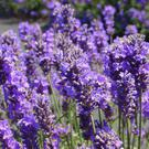 Ancient Egyptians used lavendar in their burial rituals