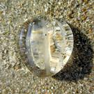 The Sea Gooseberry is common on beaches at present