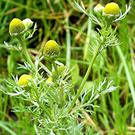 Pineappleweed in flower