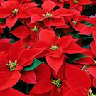 Poinsettia - a Christmas tradition
