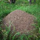 A Wood Ant nest; Co Tipperary is the species' stronghold