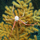 A deep-water crab on cold water corals growing at a depth of 1,000 metres off the west coast of Ireland
