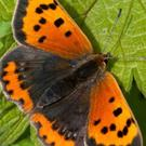 The Small Copper has lovely autumn colours on display in early summer