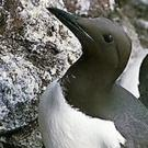 A cliff-nesting Common Guillemot with its single egg