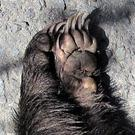 The two front limbs of a fresh badger roadkill