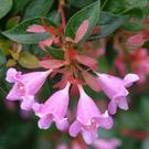 Plant of the week - Abelia 'Edward Goucher'