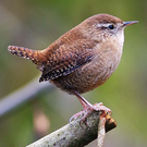 For such tiny birds, Wrens have amazingly loud even shrill songs