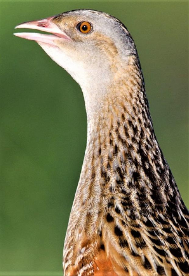 The Corncrake, a once-common but now vanishing part of our natural heritage.